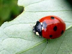 Siebenpunkt-Marienkfer oder Siebenpunkt (Coccinella septempunctata) (HITSCHKO) Tags: insekten kfer marienkfer coccinellidae coccinellaseptempunctata siebenpunkt siebenpunktmarienkfer ntzlinge