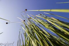 Pond Reeds (Luc De La Mare) Tags: blue sky green canon reeds garden pond 600d