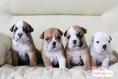 Fotos de unos tiernos cachorritos bulldog (erikazava) Tags: dog cute love me peru animal canon puppy photography photo foto lima amor bulldog professional perro lindo cachorro mascota ruff profesional sesión