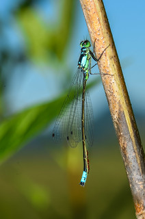 Male Pacific Forktail