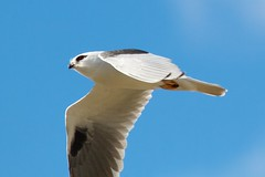 Too fast (Geoff Main) Tags: kite bird australia act birdofprey birdinflight blackshoulderedkite jerrabomberrawetlands canonef100400f4556lisusm canon7d