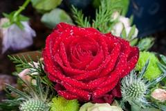 Rautt (Oddn B) Tags: flowers red roses rautt blm rsir