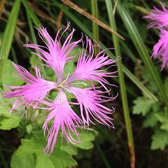 河原撫子 小林幸子みたい。 #高山植物 #花 #山の花 #flower #夏 #summer
