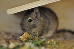 Buttercup (AlpineDaisy) Tags: wood wooden natural cage diet degu degus octodondegus octodon