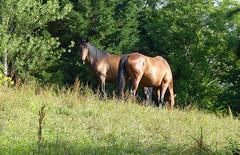 Two magnificent horses (ronmcbride66) Tags: dragondaggerphoto