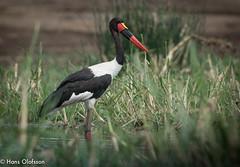 Saddle-billed Stork (Hans Olofsson) Tags: africa nature wildlife afrika uganda eco ecotour saddlebilledstork ephippiorhynchussenegalensis ecoturism kazingachannel qweenelisabeth edhippioorhynchussenegalensis