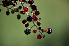 more (gionisign) Tags: red wild macro green more blackberries collina monferrato wildblackberry