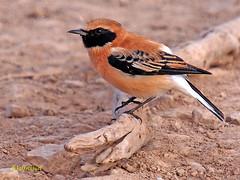 Collalba rubia (Oenanthe hispanica) (eb3alfmiguel) Tags: aves collalba rubia insectívoros pájaros
