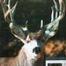 3rd Place - Published Images -  John Catsis - Mule Deer Buck