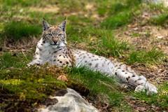 Langedrag - Lynx (InfiniteBlue) Tags: animals norway norge europe felines lynx østlandet felidae lynxes buskerud infiniteblue eurasianlynx lynxlynx tunhovd langedragnaturpark langedragwildlifepark
