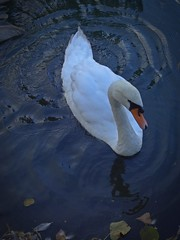 Out Of Luck (Bricheno) Tags: park bird scotland swan pond escocia szkocja renfrew schottland muteswan robertsonpark scozia cosse  esccia   bricheno scoia