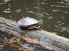 Catching a Few Rays (dlv1) Tags: water canon log turtle newhampshire amphibian pineneedles penacook paintedturtle powershotsx50hs