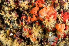 jardn de flores amarillas (Jaime Franch) Tags: viaje diving esponja formentera buceo baleares elarco parazoanthusaxinellae vellmari tokinaatx107dxfisheyeaf1017mmf3545 anemonaincrustanteamarilla