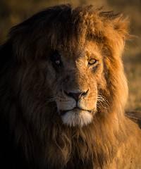 _CBB4396.jpg (BradyzNZ) Tags: africa kenya safari masaimara