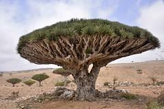 Dragon's Blood Tree, Socotra Island (Rod Waddington) Tags: old tree nature landscape island blood ancient dragon yemen dracaena socotra