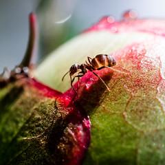 Ant shadow (Michel Couprie) Tags: shadow flower macro nature fleur canon insect eos ant peony ombre 7d bud insecte pivoine bouton fourmi lunagallery ef10028lmacro