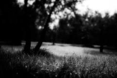 morningDew (niK10d) Tags: morning trees grass olive gratefuldead dew pentaxk10d 31mmf18limited