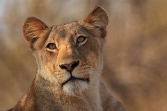 Pretty Face (Xenedis) Tags: africa animal cat southafrica wildlife lion safari bigcat afrika simba lioness rsa krugernationalpark mpumalanga krugerpark bigfive gamedrive timbavati pantheraleo republicofsouthafrica motswari timbavatiprivatenaturereserve motswariprivategamereserve jacarandapride