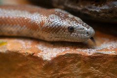 "rosy boa • <a style=""font-size:0.8em;"" href=""http://www.flickr.com/photos/30765416@N06/10392630435/"" target=""_blank"">View on Flickr</a>"