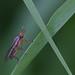 Limnia unguicornis (Sciomyzidae)