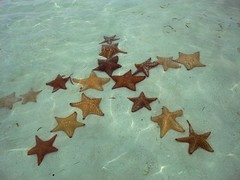 et voila, starfish in a star pattern (marcwiz2012) Tags: island pattern underwater starfish many tropical panama sanblas lots multitude centralamerica alotof