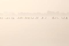 Infinitude (Roeselien Raimond) Tags: light mist bird nature water animal silhouette fog canon geese mood atmosphere goose highkey naturephotography roeselienraimond