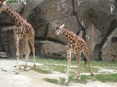 image (мєgαи м) Tags: baby cute spots omg girraffe giraffephotobomb