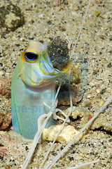 2011-10 HERBLAND MARTINIQUE YELLOWHEAD JAWFISH OPISTOGNATHUS AURIFRONS 17888