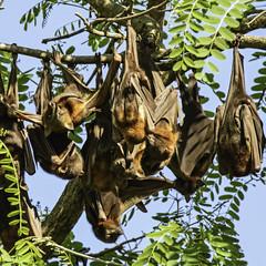 grey bat drops (Fat Burns  (on/off)) Tags: animal fauna bat queensland flyingfox ipswich greyheadedflyingfox australianfauna pteropuspoliocephalus woodendflyingfoxcamp