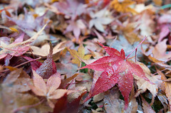 """Maple in Kyoto (minG_"""") Tags: gr ricoh"""