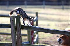Height Matters (csnyder103) Tags: cat kitten farm pony canon70200f28isl canoneos1dmkiii