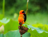 Souther Red Bishop (Wayne Horsley) Tags: sonyalpha explorewinnersoftheworld sal70400g slta77 southerredbishop botanicalgardenskzn