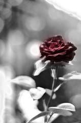 Whitered rose (Nacho Carrera) Tags: madrid red blackandwhite bw flower byn blancoynegro rose rojo flor rosa bulgaria nacho carrera nach 2014 2013 trepidacion rosamarchita nachocarrera