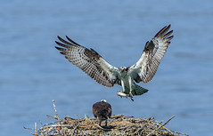 Osprey Home Delivery (Wizard of Wonders) Tags: fish canada male water female river flying inflight wings open bc harrison nest branches flight catfish soaring twigs claws osprey pandionhaliaetus bluebackground harrisonmills