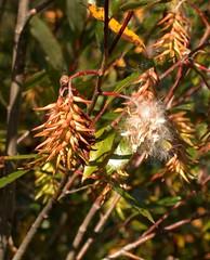 Salix serissima (autumn willow) with ripe catkins (A Really Small Farm) Tags: nature minnesota willow fen wetland salix nativeplant wetlandplant salicaceae bigbog autumnwillow garywalton salixserissima minnesotawetlands