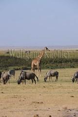 10070804 (wolfgangkaehler) Tags: africa kenya african wildlife giraffe wildebeest amboseli kenyan eastafrica eastafrican giraffacamelopardalistippelskirchi masaigiraffe burchellszebra wildebeests amboselinationalpark burchellszebras amboselikenya burchellszebraequusquagga amboselinatlparkkenya