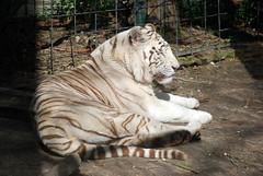 16 fvrier 2014 - Un tigre blanc (Mafate79) Tags: zoo weekend mammifre 2014 pantheratigris felidae sologne weekendenamoureux zoodebeauval flids tigreblancroyal tigreblanc flid