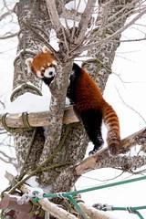 Red Panda (kumakichi) Tags: winter animal zoo hokkaido 100mm     f50   asahikawa  iso500  1250sec