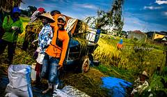 farmer of indonesia (wahana_won2@rocketmail.com) Tags: food indonesia asia rice together farmer padi petani kebersamaan panen