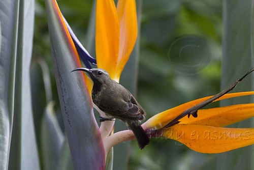 Amethyst Sunbird on Strelitzia  flower _1060