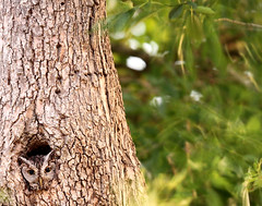 Eastern Screech Owl (Crop2) (ACreepingMalaise) Tags: park lake mercedes grande texas owl rv eastern screech llano