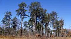 Albany Pine Bush  3-5-17 (dr.tspencer) Tags: albanypinebush albanyny albanycounty trees nature tamron16300