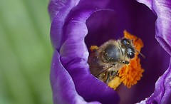 Bee collecting pollen from the inside of a crocus. (markwilkins64) Tags: crocus pollen plant nature purple green canon bee insect insects macro unlimitedmacro
