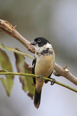 White-collared Seedeater (Greg Lavaty Photography) Tags: whitecollaredseedeater sporophilatorqueola costarica march male sparrow seedeater bird nature wildlife photographytrip birdphotography neotropical tropical