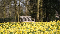 Sit amongst the Daffodils (francescacounsell) Tags: daffodils spring yellow bench flowers bloom march tatton cheshire countryside english national trust tattonpark wild nature wildlife blooms sonyalpha alpha200 sonyalpha200 spiritofphotography sony outside adventure