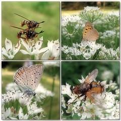 (Tölgyesi Kata) Tags: rovar insect mozaik mosaic botanikuskert botanicalgarden debotkert debrecen withcanonpowershota620 debrecenibotanikuskert lepke butterfly allium schmetterling animal debreceniegyetembotanikuskert polyommatusicarus fly whiteflower tűzlepke macro
