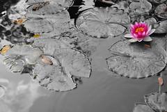 Nenúfar solitario (Franco D´Albao) Tags: francodalbao dalbao lumix planta plant flor flower nenúfar waterlily selectivo selective agua water
