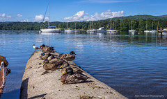 On holiday (AlexWatson Photography) Tags: windermere duck ducks travel travelphotography lake lakedistrict lakes england uk boats holiday landscape mountains nature wildlife summer sun relaxation wild seagull cumbria ambleside