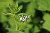 Sherardia arvensis (Carla@) Tags: sherardiaarvensis flora fiori spontanei nature liguria italia europa mfcc canon explorenaturethewildnature alittlebeauty thesunshinegroup coth coth5 sunrays5 naturallywonderful