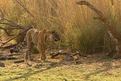 1399 Day 8 Tigers (brads-photography) Tags: india nationalpark pantheratigristigris rajasthan ranthambore royalbengaltiger sawaimadhopur sideon tiger tigerreserve walking wildlife starmale male t28